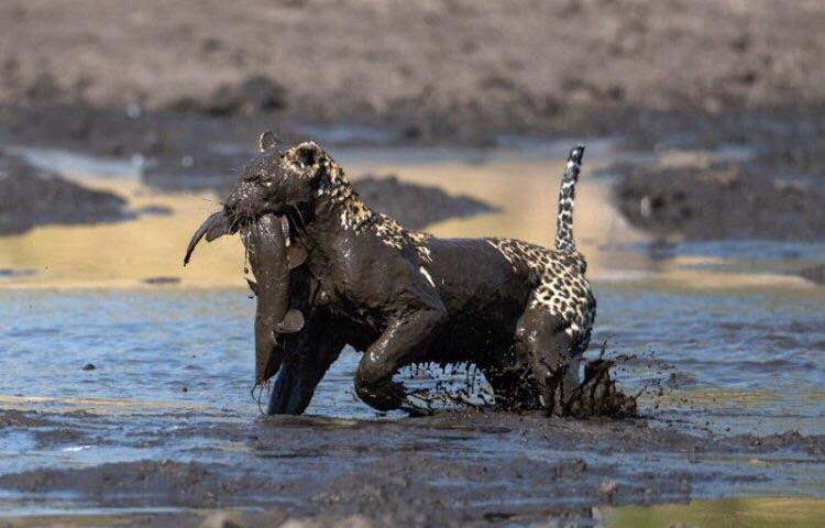ловля леопарда
