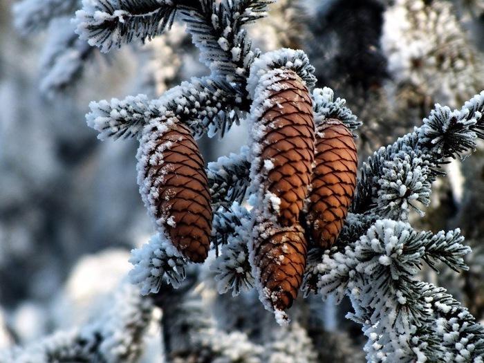 фотографии уже ель зимой с шишками картинки поддержки