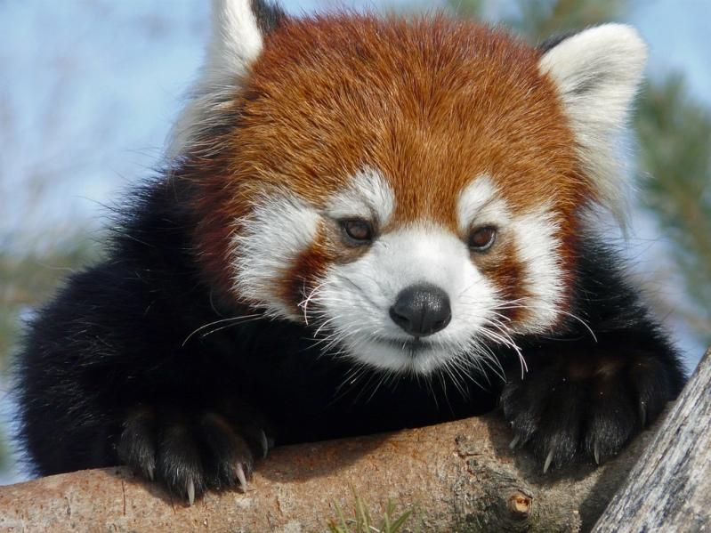 Red pandas hugging