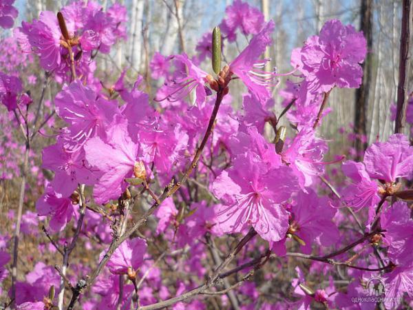 Где- то багульник на сопках цветет, кедры вонзаются в небо