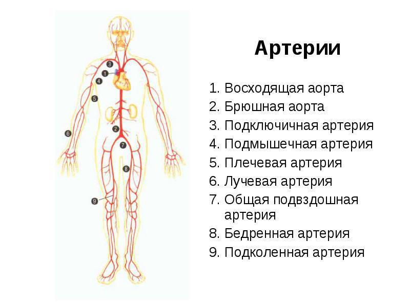 Где находятся аорта