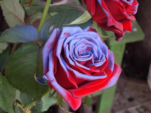 Фото необычных цветов роз