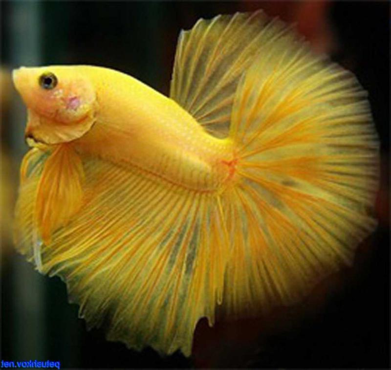 желтые петушки рыбки фото