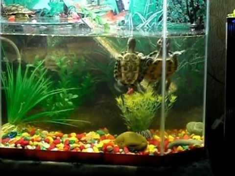 Красноухая черепахи водные в домашних условиях
