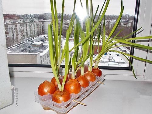 Как выращивать лук на зелень в домашних условиях