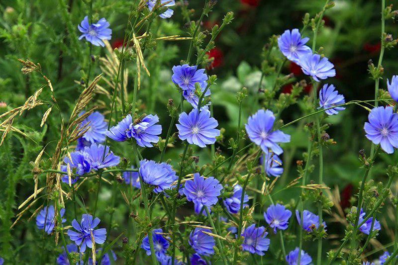 Фото цикория цветы