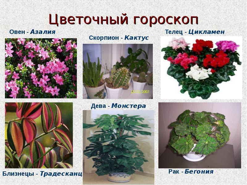 Комнатный цветок для овна
