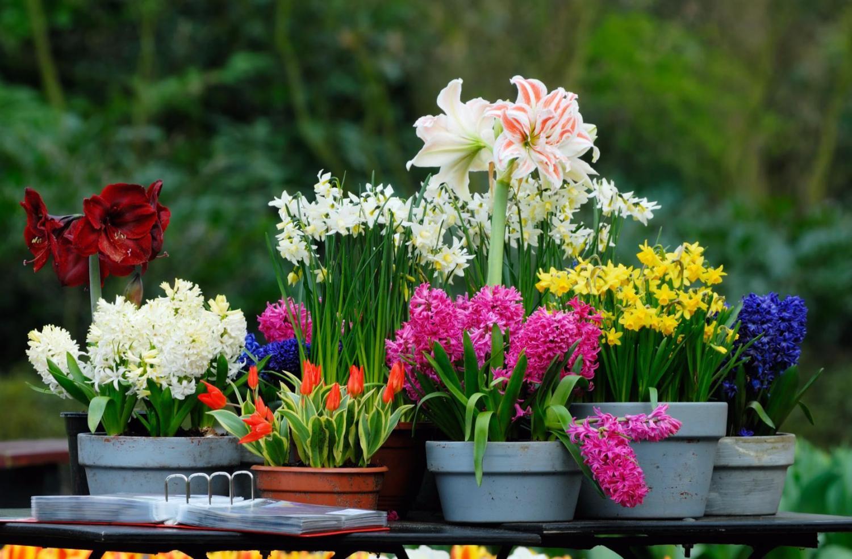 Луковичные цветы дачные с названиями и фото