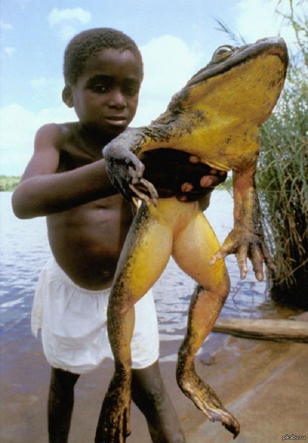 Лягушка-голиаф - крупнейший сохранившийся вид жаб на земле