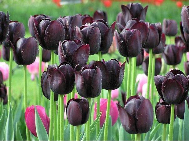 Скачать песню черний тюльпан